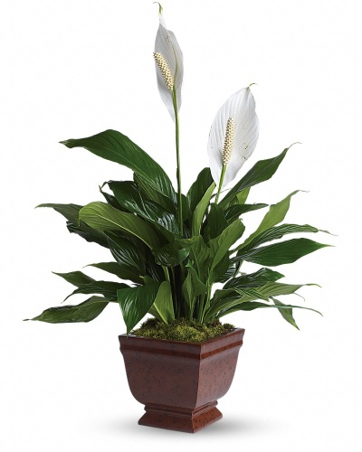 Lovely One - Peace Lily